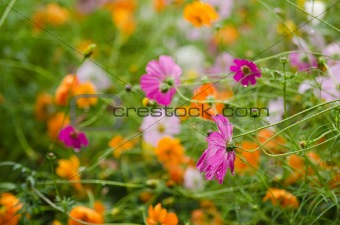 A field with fading cosmos flowers