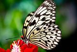 the paper kite butterfly, Rice Paper or Large Tree Nymph, idea l