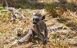Lemur baby
