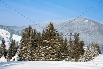 fir-trees at the foot of mountains Carpathians in winter