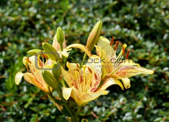 yellow lily in bloom