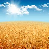 Beautiful landscape with field of ripe rye and blue summer sky
