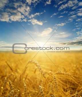 gold ears of wheat in sunset