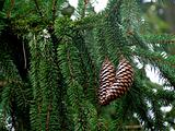 Pair of Pine Cones on tree