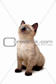 Baby Siamese Kitten