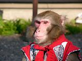 Japanese macaque in show-costume