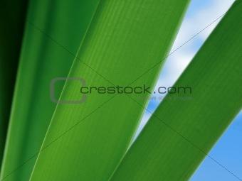 Amaryllis Leaves
