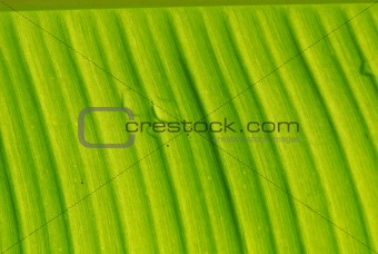 green banana leaf in the gardens