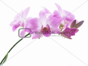 Blossoms of an orchid
