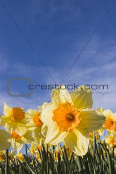 Daffodils against blue sky