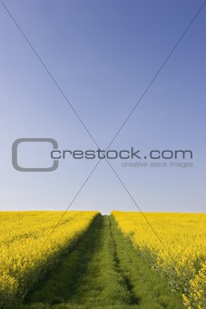 Blue sky and rapeseed