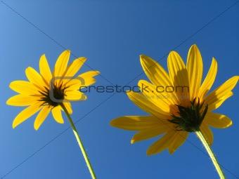 Pair of yellow flowers