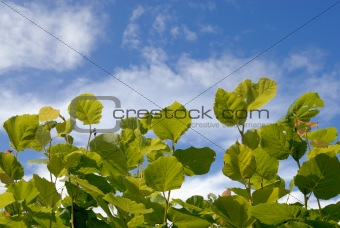 Green leaves over blue sky