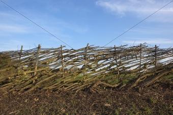layered hawthorn hedge