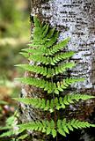 branch of the fern