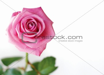 Beautiful pink rose.
