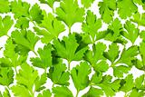 Fresh Parsley close-up background / back-lit