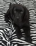black labrador retriver puppy