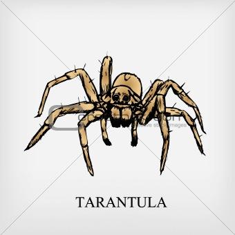 Tarantula spider. Vector