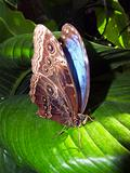 butterfly Blue Morpho resting on a leaf