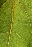 Detailed macro photo of leaf with web of veins