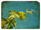 Young grape leaves. Old postcard.