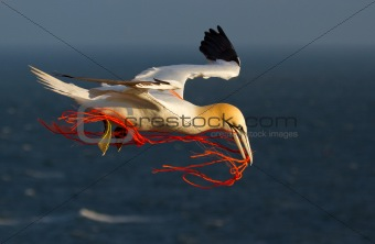 A gannet flying