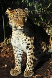 Amur leopard