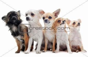 five chihuahuas