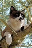 Siamese Cat in a tree