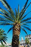 Palm tree in split croatia
