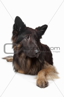 Old German Shepherd Dog