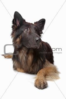 Old German Shepherd Dog