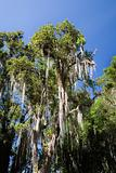 Spanish moss growing on trees