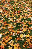 Yellow maple leaves on lawn