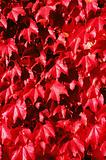 Red boston ivy leaves