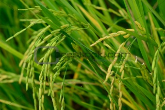 Rice crop agriculture