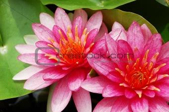 Twin pink lotus