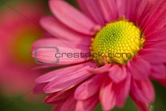 Beautiful pink chamomile