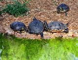 Turtles
