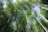Bamboo forest seen from below