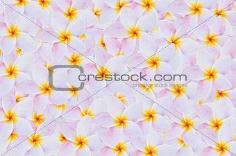 Frangipani flowers background