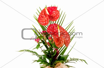 Beautiful red anturio flowers
