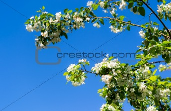 Blooming apple tree against clean blue sky