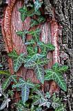 Common Ivy, Hedera helix
