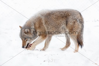 wolf eating meat on the snow