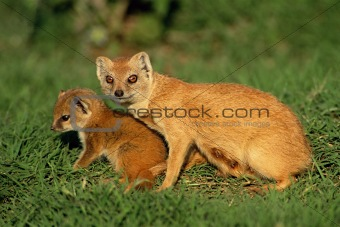 Yellow mongoose with child