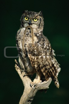 Spotted eagle owl with prey