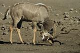 Kudu scraping horns on the ground