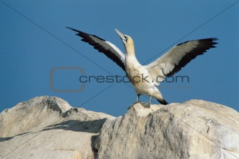 Cape gannet landing on a rock